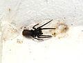 Une araignée-loup dans son cocon (1).JPG