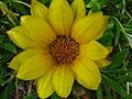 Unidentified flower in parking lot 2.jpg