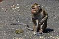 Unidentified macaque, Saka Tunggal Mosque, Purwokerto 2015-03-22 01.jpg