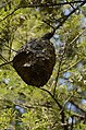 Unidentified paper wasp nest from Valparai Plateau JEG1716.JPG