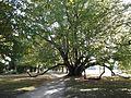 Uno strano albero secolare nel parco - panoramio.jpg