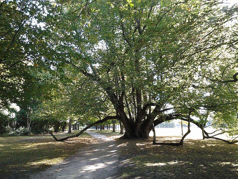 Uno strano albero secolare nel parco