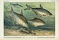 Unsere Süßwasserfische (Tafel 41) (6103150232).jpg