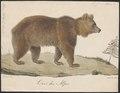 Ursus arctos - 1700-1880 - Print - Iconographia Zoologica - Special Collections University of Amsterdam - UBA01 IZ22600031.tif