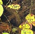 Utricularia intermedia plant (02).jpg