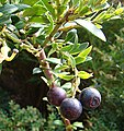 Vaccinium consanguineum, the Costarican Blueberry (9682601382).jpg