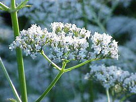 Valeriana officinalis1.jpg