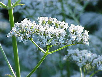 Valerian (herb) - Image: Valeriana officinalis 1