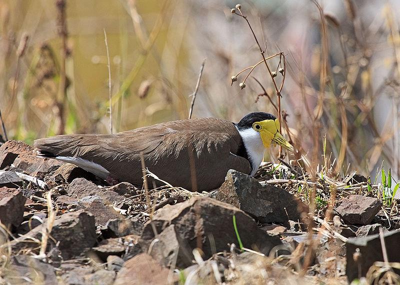 File:Vanellus miles -Kiama, New South Wales, Australia -on nest-8.jpg