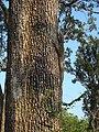 Varanus bengalensis Yala National Park 2017-10-26 (1).jpg
