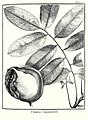 Vatairea guianensis Aublet 1775 pl 302.jpg