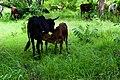 Veau et vache dans le pâturage naturel de Samiondji (Covè).jpg