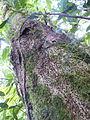 Vegetación de la Reserva de la Biosfera La Amistad Panama (RBLAP) 06.JPG