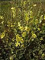 Verbascum sinuatum RJP 01.jpg