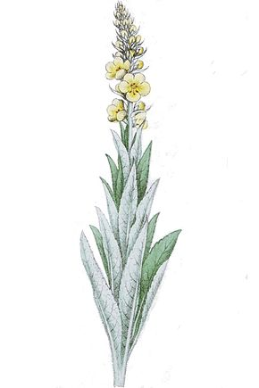 Description de l'image Verbascum thapsiforme ag1.jpg.