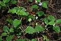 Veronica montana 3.jpg
