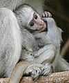 Vervet (Chlorocebus pygerythrus) young ... (45676004185).jpg