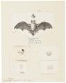 Vespertilio pipistrellus - 1700-1880 - Print - Iconographia Zoologica - Special Collections University of Amsterdam - UBA01 IZ20800169.tif