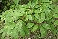 Viburnum farreri kz05.jpg