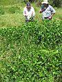 Vigna unguiculata habit5 (10736867106).jpg