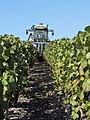 Vigne Pinot noir (Efeuillage) Cl.J.Weber02 (23651643186).jpg