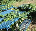 Vines growing through outdoor picnic tables near a school in Springfield NJ.JPG