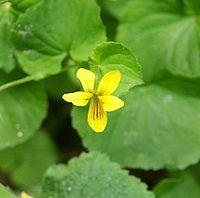 Viola biflora 080603