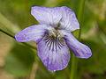 Viola riviniana Bergslagssafari.jpg