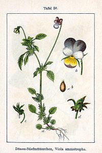 Viola tricolor ammotropha Sturm58.jpg