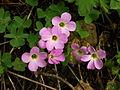 Violet Wood-Sorrel - Oxalis violacea.JPG