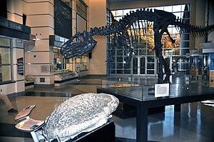 Virginia Museum of Natural History - Image: Virginia Museum of Natural History display