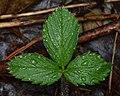 Virginia Strawberry (Fragaria virginiana) - Kitchener, Ontario.jpg