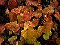 Vitis coignetiae - Flickr - peganum (4).jpg