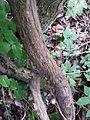 Vitis vinifera subsp. sylvestris sl2.jpg
