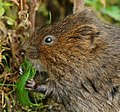 Vole Breakfast (6015991754).jpg