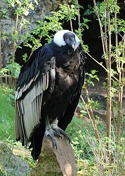 Un condor des Andes femelle au Bioparc de Doué-la-Fontaine.