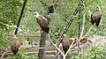 Vultures in Yerevan zoo.jpg
