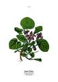 WWB-0018-004-Viola odorata.png