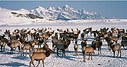 Elk wintering in Jackson Hole, Wyoming after migrating there during the fall