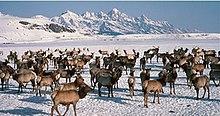 Photograph of an elk herd in winter