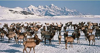 National Elk Refuge - Elk during winter on the refuge