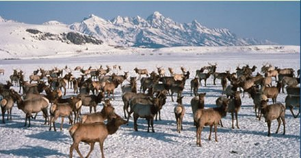 Elk wintering in Jackson Hole, Wyoming, after migrating there during the fall Wapiti on the National Elk Refuge.jpg