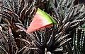 Wassermelone + Kaktus (27157526014).jpg