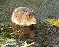 Water vole - Arvicola amphibius 2a.jpg