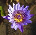 Waterlily - blue (9546426629).jpg