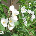 Waterton Mockorange Philadelphus lewisii 'Waterton'.JPG