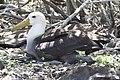 Waved albatross (46846996075).jpg