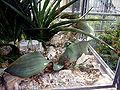 Welwitschia-mirabilis-1.jpg