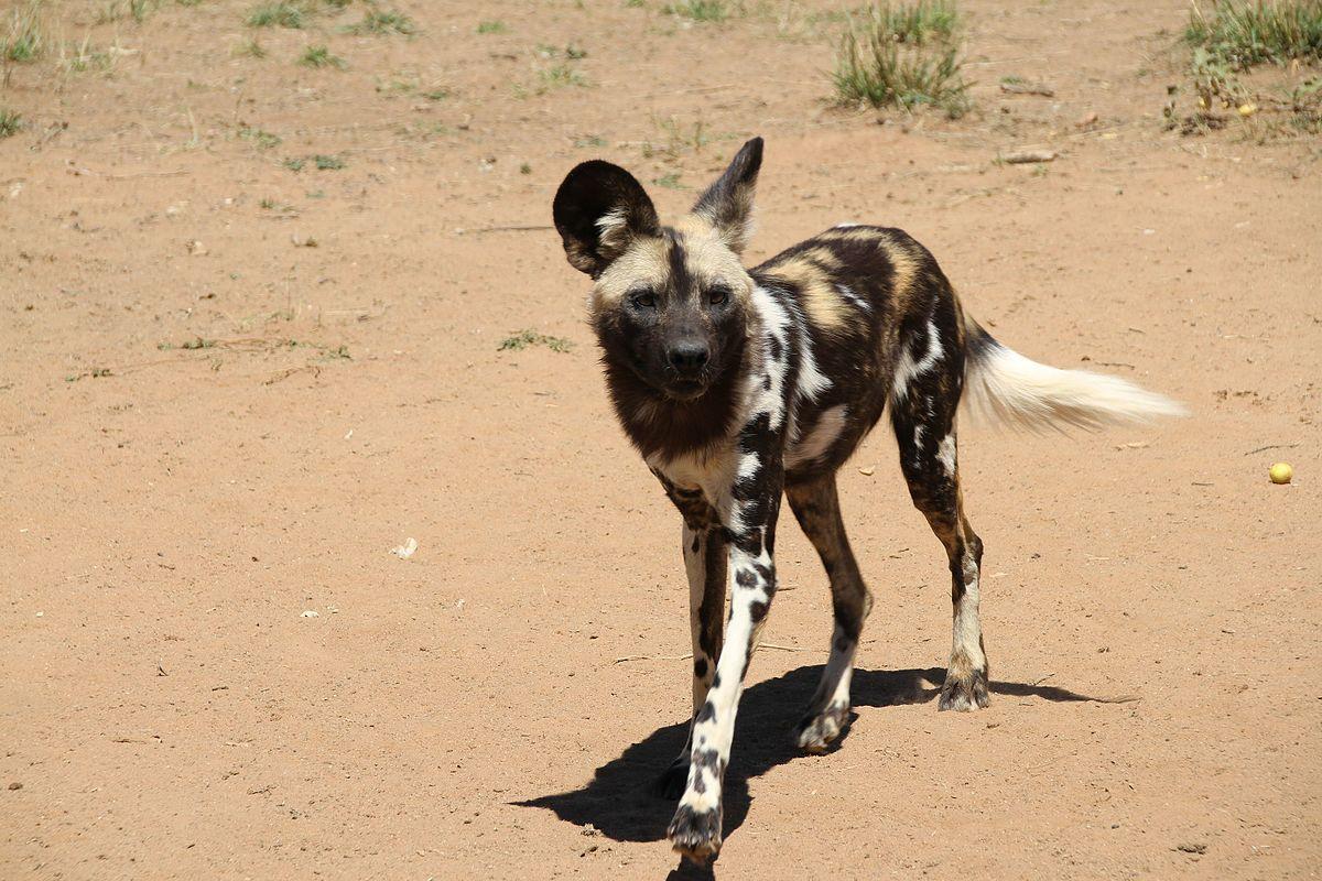 West African Wild Dog Wikipedia