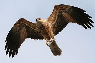 Haliastur - Whistling kite (Haliastur sphenurus)